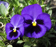 pansy, annual plant, flower, purple, plant, malpighiales, macro photography, wildflower, flora, petal, viola,