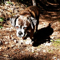Mocha The #Puggle is back on the trail!  Recovering from knee surgery.  Send positive #vibes #pet #dog #hiking #Oregon #Follow #Survival #Bros