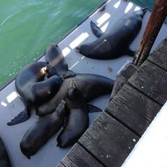 Sea Lions at Santa Cruz Wharf