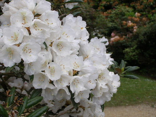 Rhododendrons in flower © Nigel Philpott