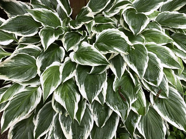 Hostas #patiogardens #patiogarden #hosta #hostas