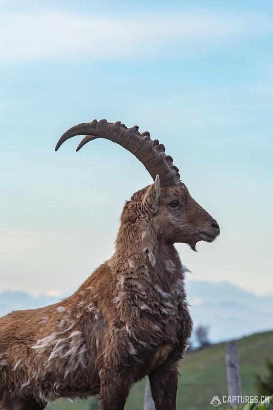 Alpine Ibex 2 - Creux du Van