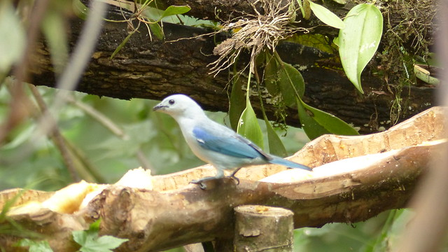 Tangara évêque - Blue gray tanager -   Thraupis episcopus