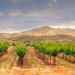 Coronado Vineyard in Willcox, AZ