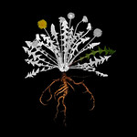 Jimmy Fike; Dandelion; Chromogenic print on black sintra; 24x20; 2012 -