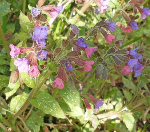 Common lungwort2