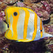 Copper-banded Butterfly Fish by tresed47