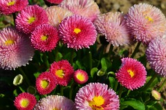 gaillardia(0.0), asterales(0.0), macro photography(0.0), chrysanths(0.0), dorotheanthus bellidiformis(1.0), annual plant(1.0), flower(1.0), plant(1.0), daisy(1.0), flora(1.0), daisy(1.0), petal(1.0),