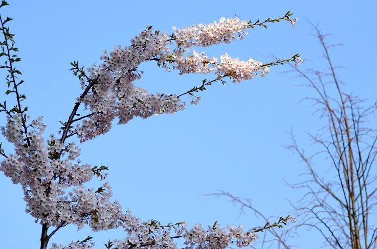 DSC_7091 Cherry blossom