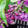 Lilacs in the cold cold rain #lilac #lilacs #spring #rain #colorado #floral #flower #florals #flowers #flowerporn #flowerslovers #flowerstagram #flowersofinstagram #instablooms