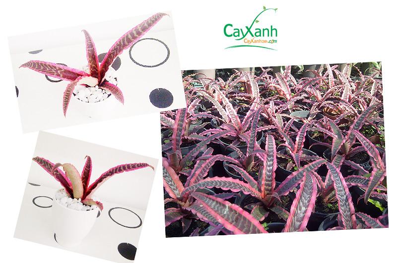 cayxanh24h.com | cay de ban | cay thuy canh | cay van phong | dua hong phung