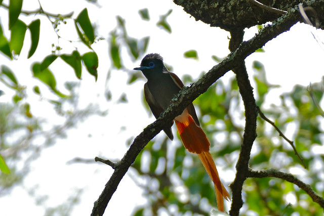 Header of African Paradise Flycatcher