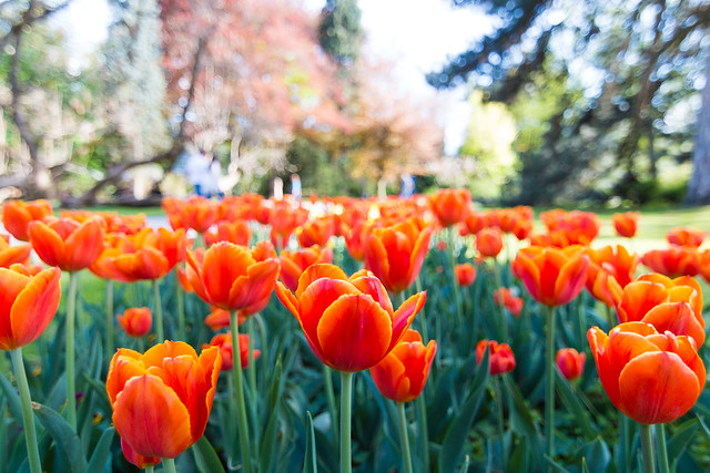 Tulips sea