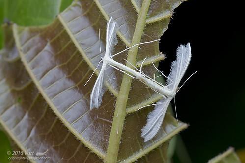 Pterophoridae_MG_0604 copy