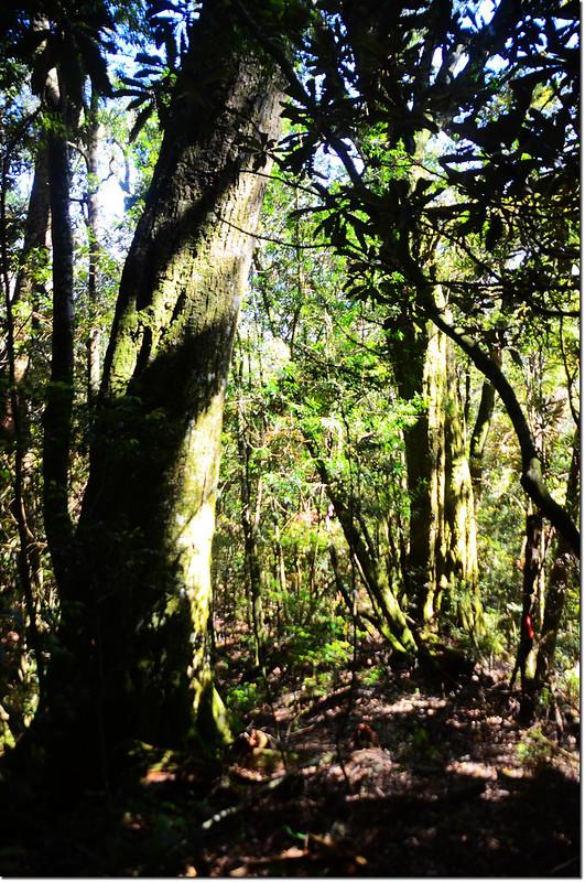 佳仁山稜線上巨木群 1