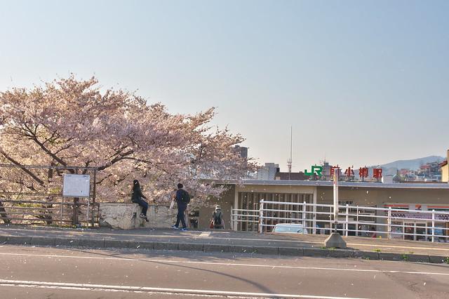 20160508南小樽駅の桜_03