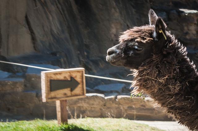 Llama Photobomb!