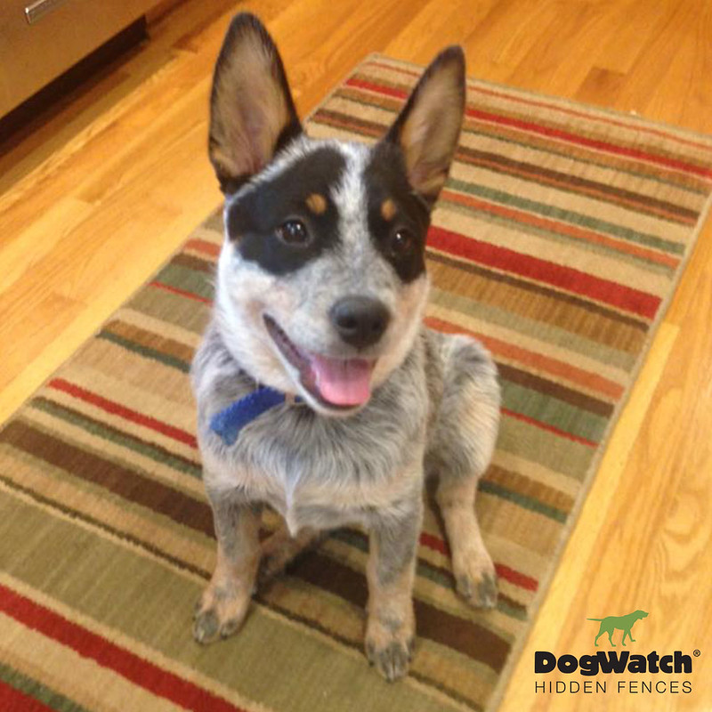 Sadie, Australian Cattle Dog, Atlanta/Athens DogWatch