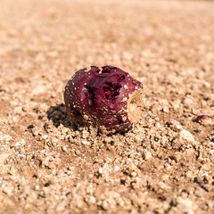 1608 Fallen Prickly Pear Fruit on an A-7 Ranch Road