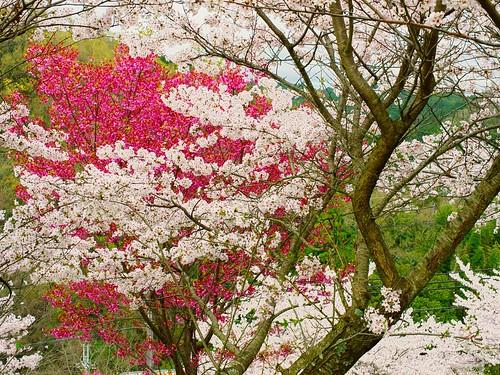 Sakura, Ume