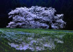 Waterside Sakura