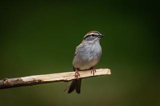 Chipping Sparrow | Lexington, KY