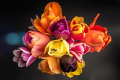 Tulips | Spring Flowers #120/365