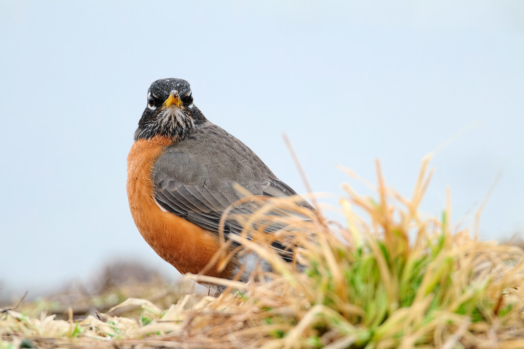 A male American robin stands on the ground