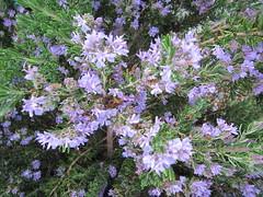 Rosmarinus officinalis 'Roseus'