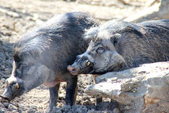 animal, wild boar, pig, fauna, pig-like mammal, wildlife,