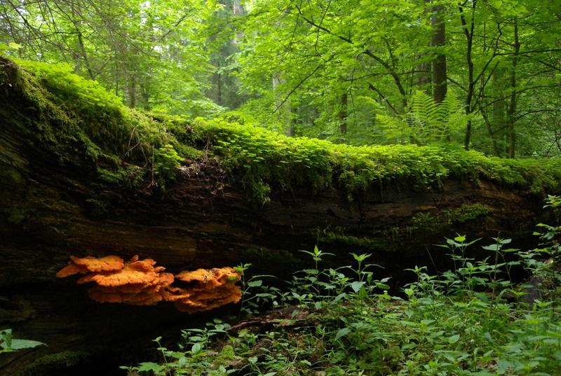 Bosque Białowieża