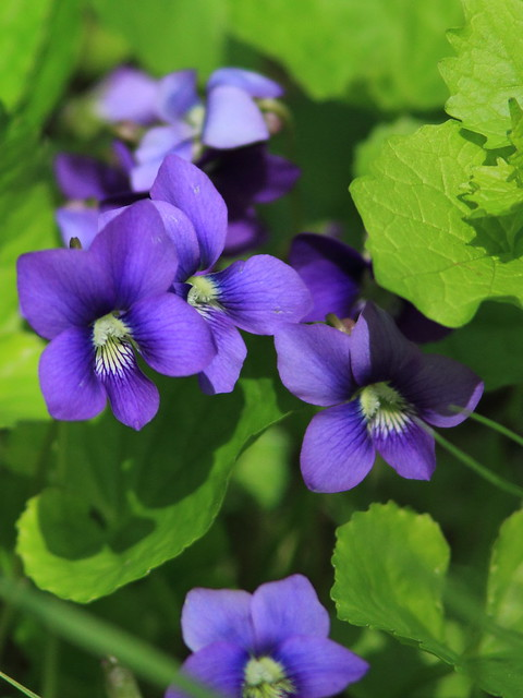 Blue Violet 20150427