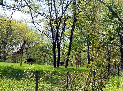 Bronx Zoo - giraffes-001