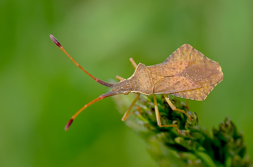 macro bug insect truebug coreidae hemiptera rhombeus pentatomomorpha coreoidea syromastusrhombeus syromastus