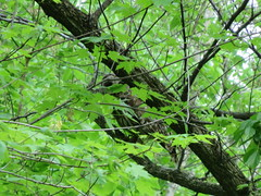Barred Owl in a Maple Tree