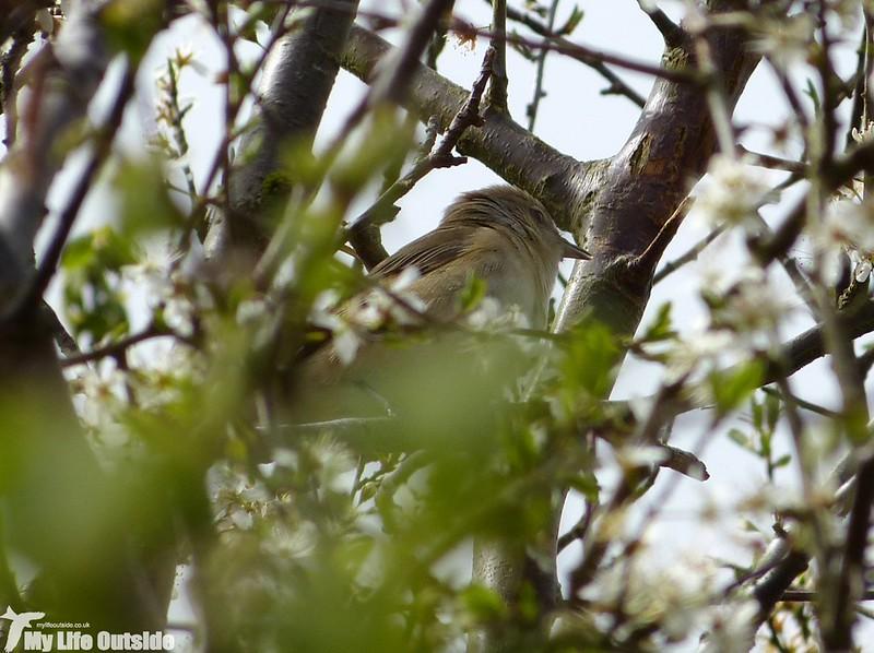 P1120627_2 - Garden Warbler, Gwenffrwd-Dinas