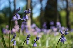 Violette Glockenblume