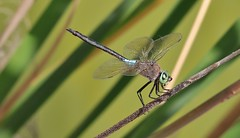 Lesser Emperor Dragonfly  (Anax parthenope)   (Explored)  29-05-2016