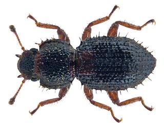 Coxelus insularis (Grouvelle, 1899)