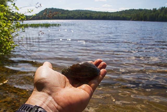 Shallow Lake and Eastern Elliptio Freshwater Mussels