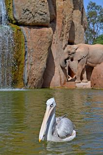 Pelícano en el lago de los elefantes