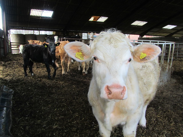 UK - East Sussex - Brightling - Curious cow