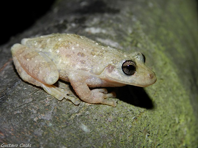 Ranita Roncadora (Scinax granulatus)