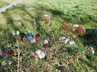 Lily-scented viburnum