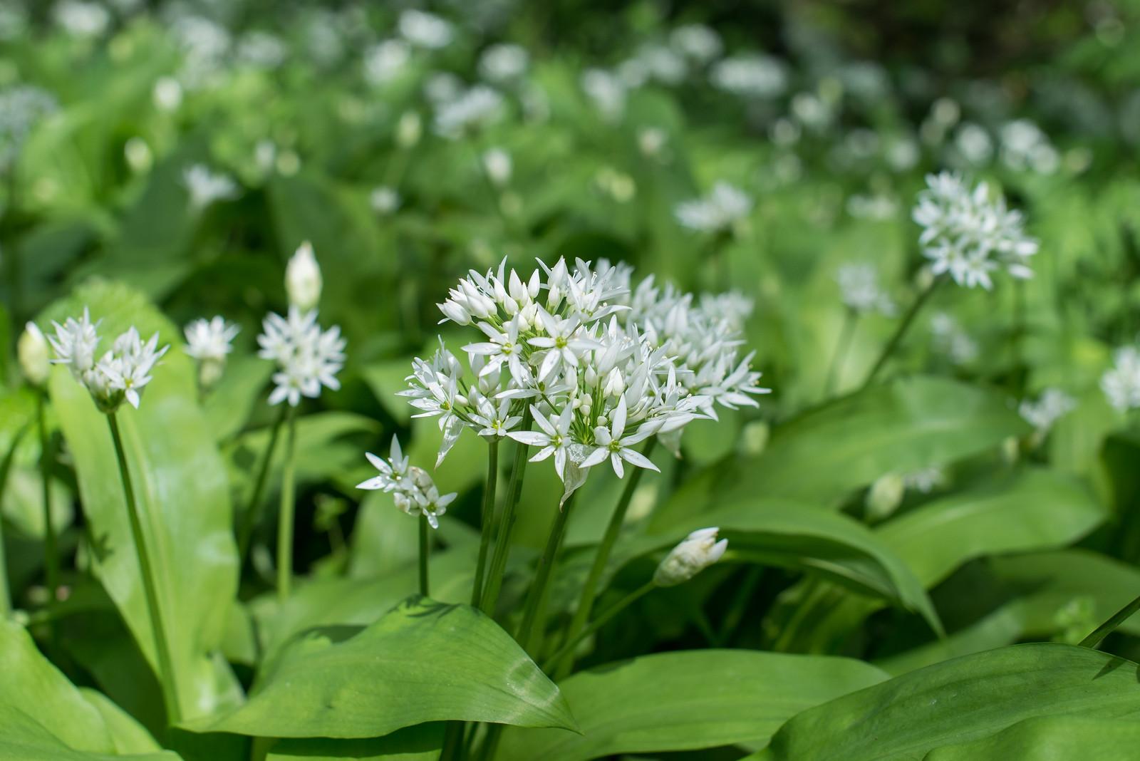 wild-garlic (1 of 1)-4