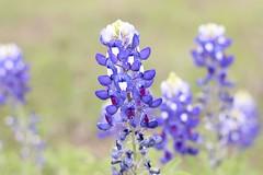 annual plant, flower, plant, lilac, lavender, macro photography, herb, wildflower, flora, bluebonnet,
