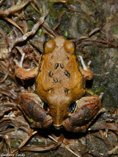 Ranita de Cuatro Ojos (Physalaemus biligonigerus)