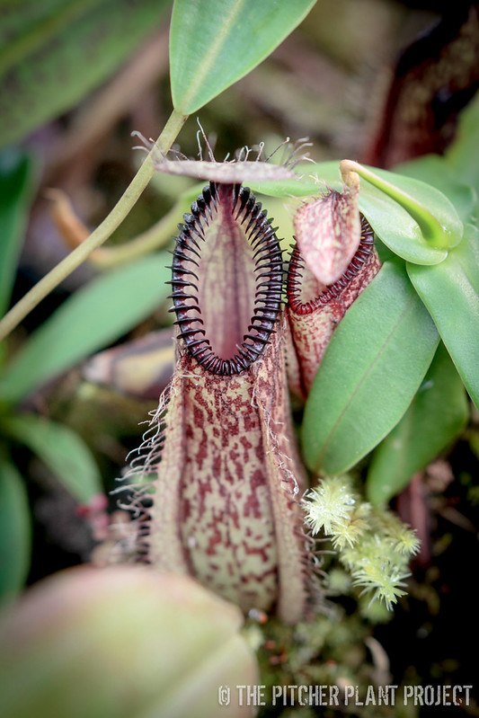 Carnivorous Plant Collection Surfing - 12 Apr 2015
