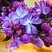 Spring Lilac by skagitrenee
