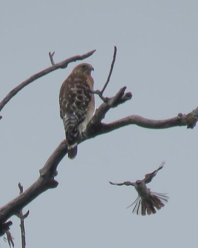 Red-shouldered Hawk and Northern Mockingbird